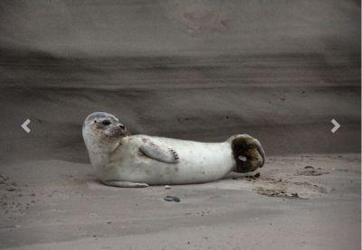 Zieke gewone zeehond